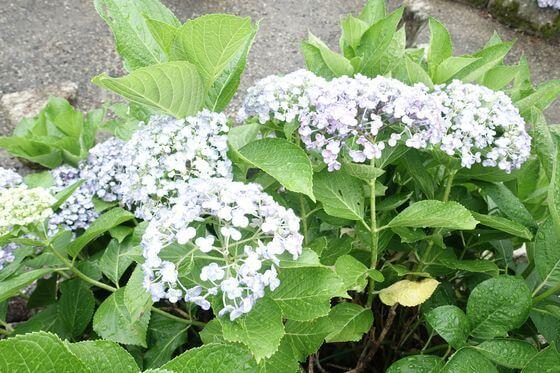 立野台公園 紫陽花