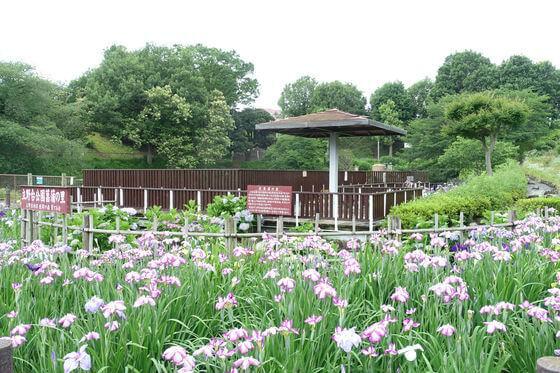 立野台公園 花しょうぶ