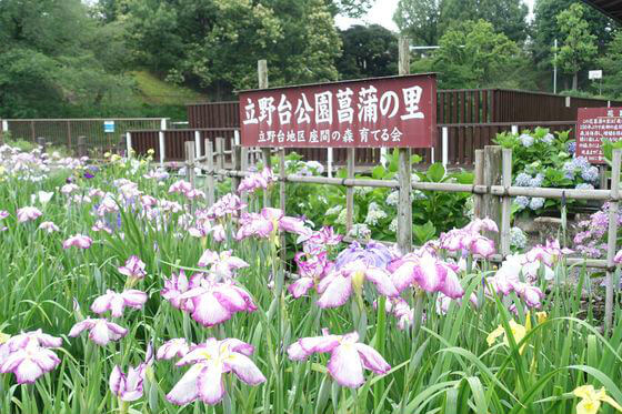 立野台公園 花菖蒲