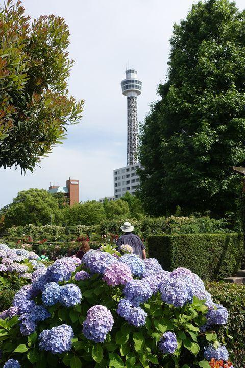 山下公園 横浜マリンタワー あじさい