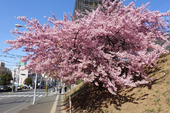 あざみ野 河津桜