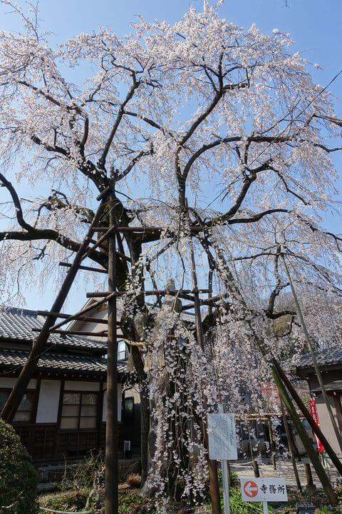 大光寺 御霊木枝垂れ桜