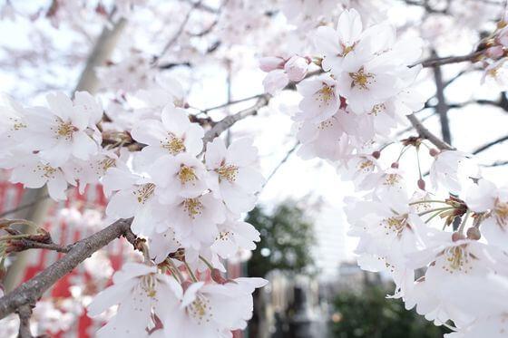 大光寺 桜 開花状況