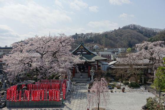 大光寺 桜