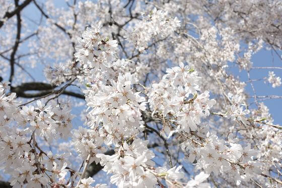 栄福寺 枝垂れ桜