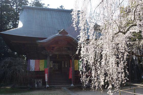 栄福寺 千葉 しだれ桜