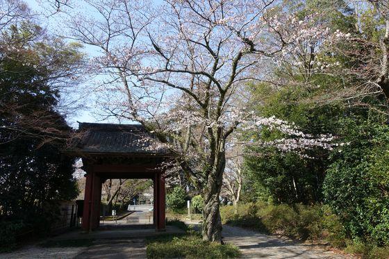 栄福寺 ソメイヨシノ