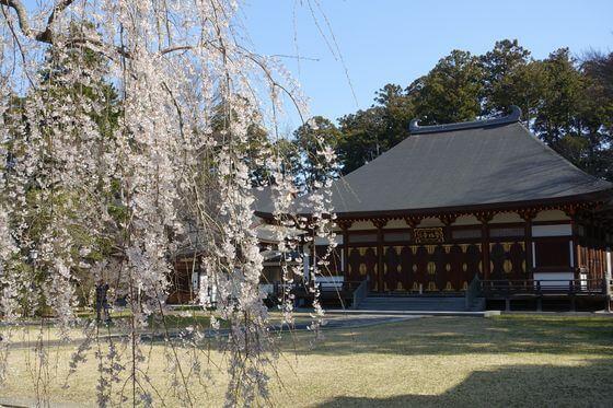 栄福寺 しだれ桜