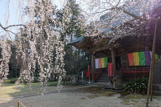 栄福寺 姫桜
