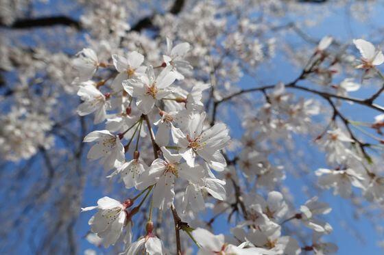 栄福寺 千葉 枝垂れ桜