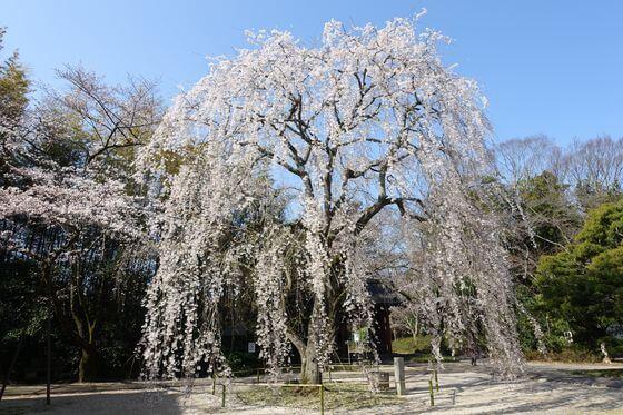 栄福寺 桜
