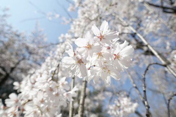 栄福寺 桜 開花状況