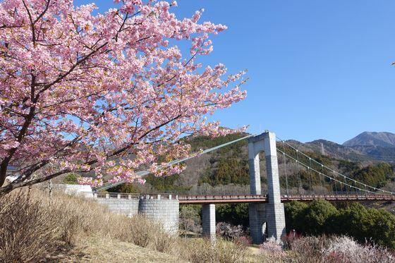 秦野戸川公園 河津桜