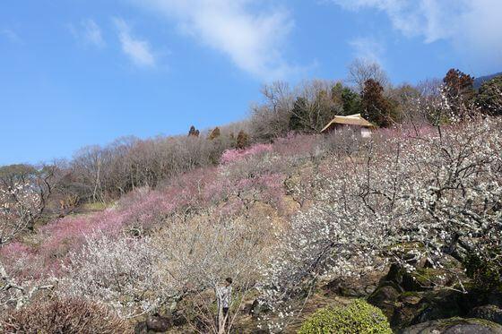 茨城県 梅