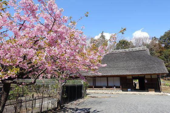 泉の森 河津桜