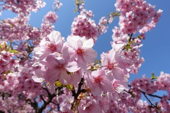 泉の森 河津桜 開花状況