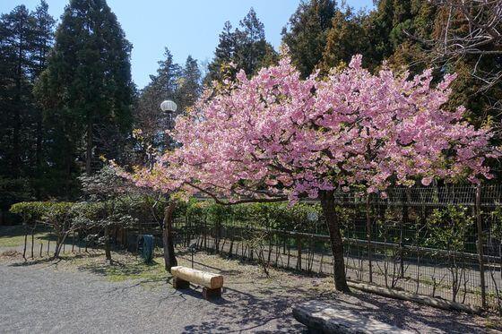 大和市 泉の森 河津桜