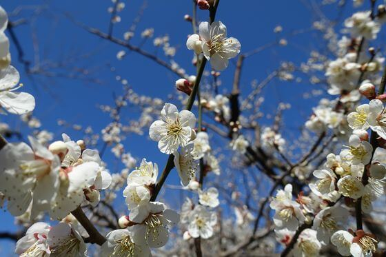 偕楽園 梅 開花状況