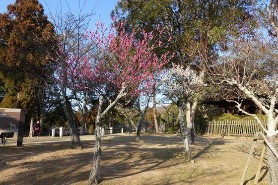 奈良公園 梅