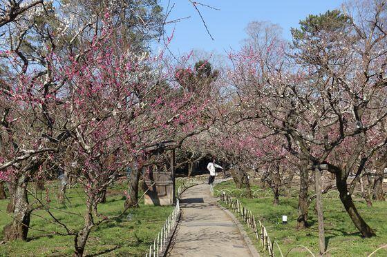 梅 北野 見頃 天満宮 北野天満宮の梅まつり2018|梅の開花状況、梅苑の公開期間、時間、見頃はいつ?