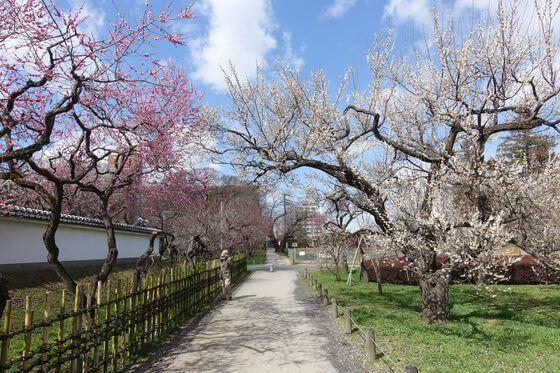 水戸 弘道館公園 梅