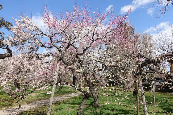 弘道館公園 梅林