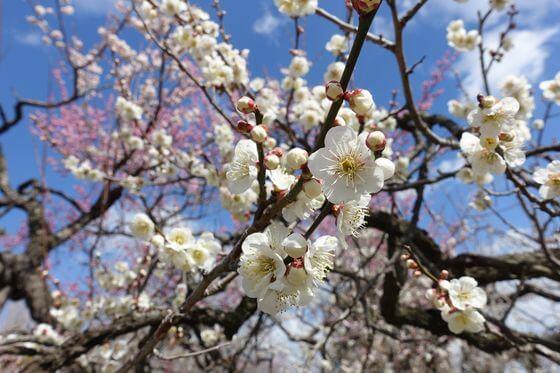 弘道館公園 梅園