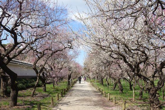 弘道館公園 梅