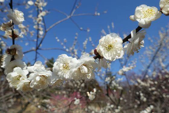 こども自然公園 梅 開花状況