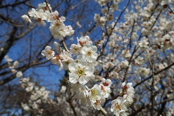 京都御苑 梅 開花状況