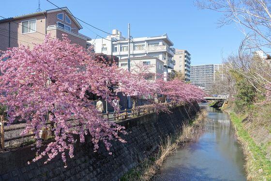 松戸 河津桜