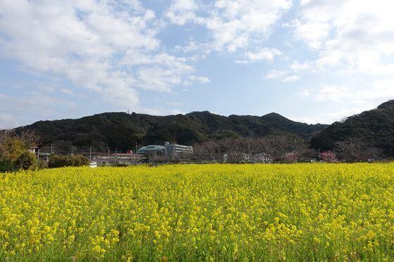 南伊豆 日野 菜の花