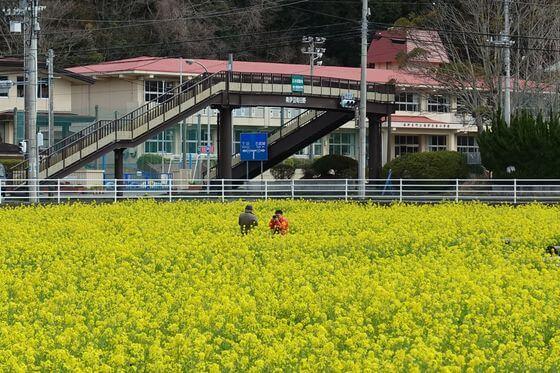 日野 菜の花