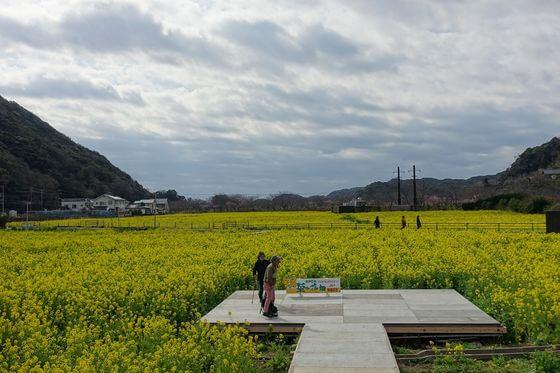日野(ひんの)菜の花畑