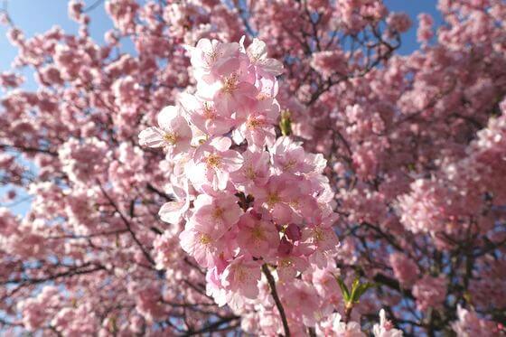 みなみの桜と菜の花まつり 開花状況