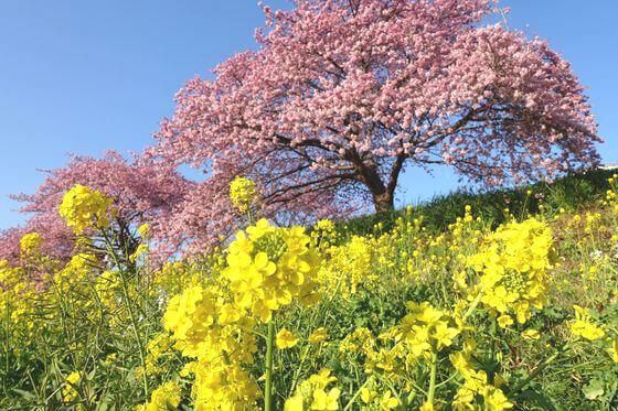 南伊豆 菜の花
