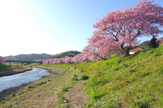 下賀茂 河津桜