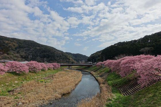 銀の湯橋 河津桜