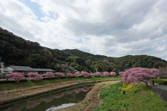 九条橋 河津桜