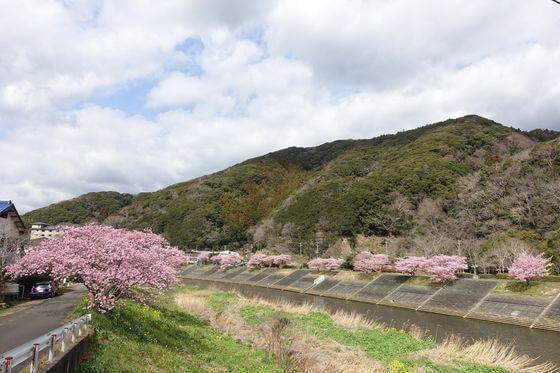 加畑橋 河津桜