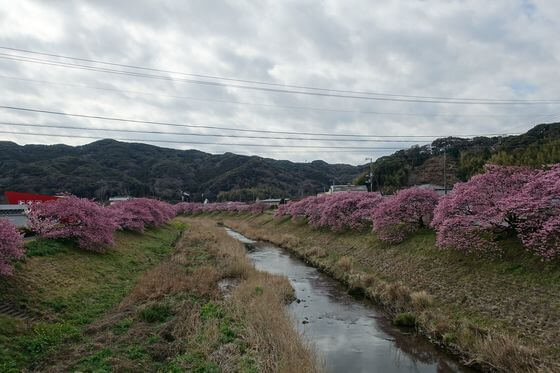 前原橋 河津桜