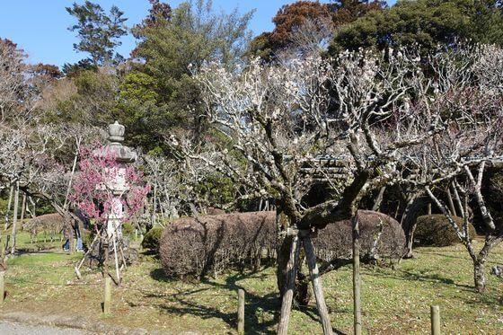 成田山公園 梅林