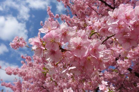 志津 河津桜