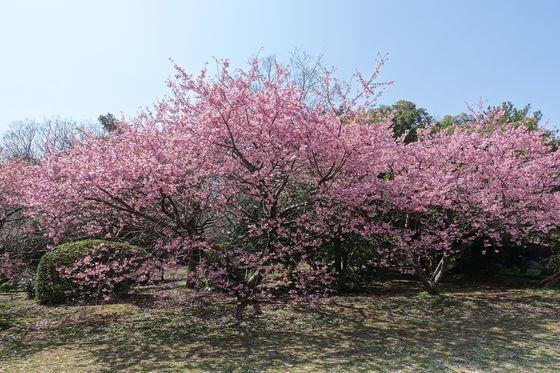 千葉県佐倉市 河津桜