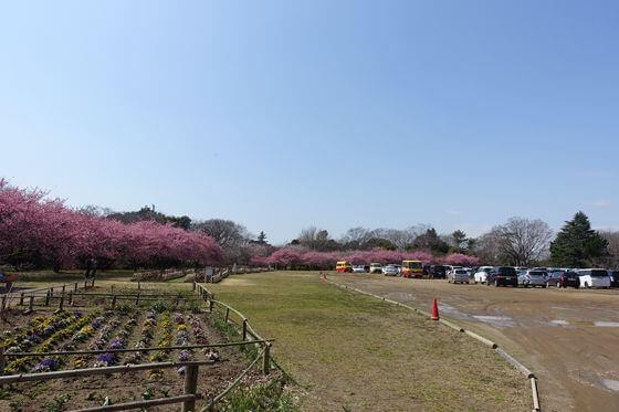 佐倉城 河津桜