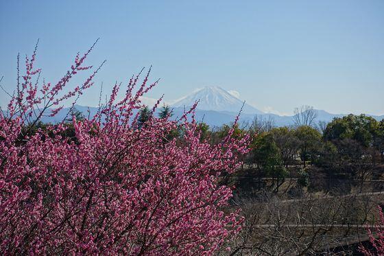 甲斐敷島梅の里 富士山