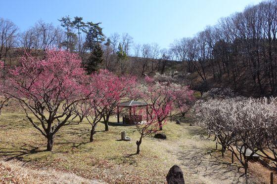 敷島総合公園 梅林