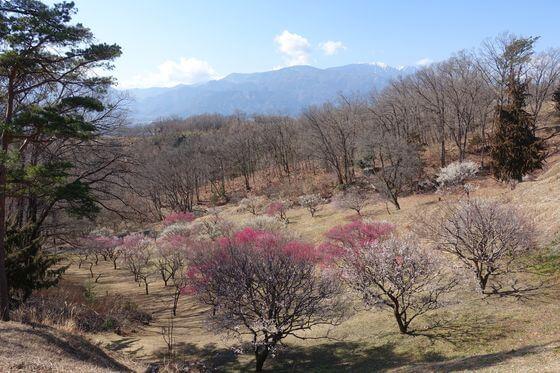 敷島総合公園 梅