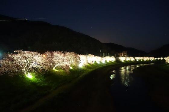 南伊豆 河津桜 ライトアップ