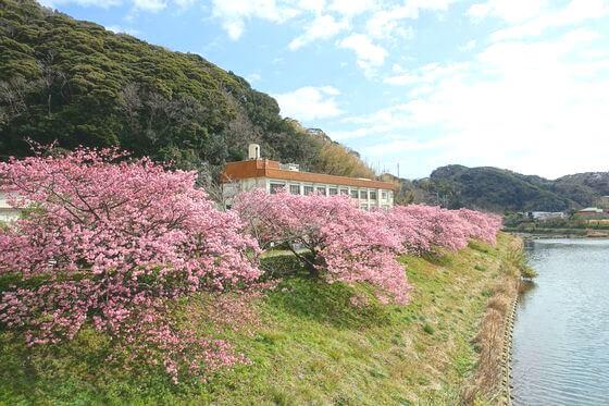 東京 南伊豆 河津桜